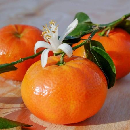 Mandarini Tardivi Siciliani coltivati a Ribera