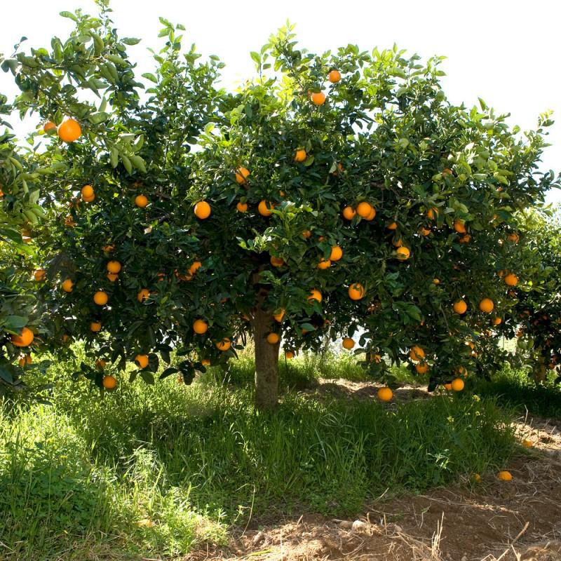 Adotta a distanza un albero d'Arance Siciliane, coltivate e raccolte a Ribera.