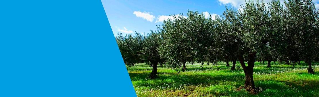 Olio Extra Vergine di Oliva 100% Italiano estratto a freddo da olive siciliane
