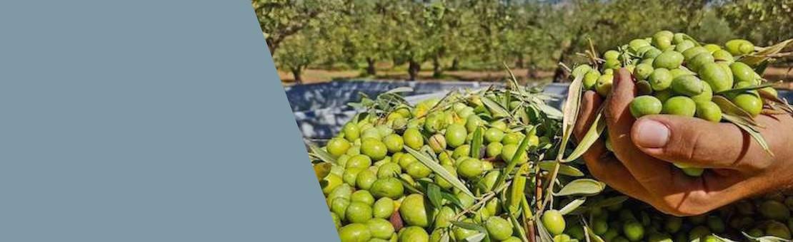 Olio Extra Vergine di Oliva artigianale da olive 100% italiane
